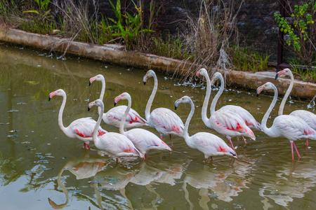 riverine: Group of pink caribbean flamingo