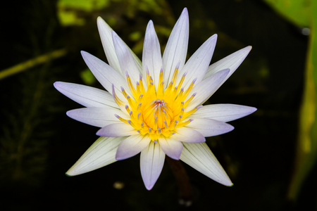 lilia: Beautiful white lotus flower in the pond