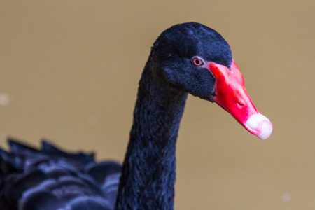 cygnet: black swan swimming on a pool