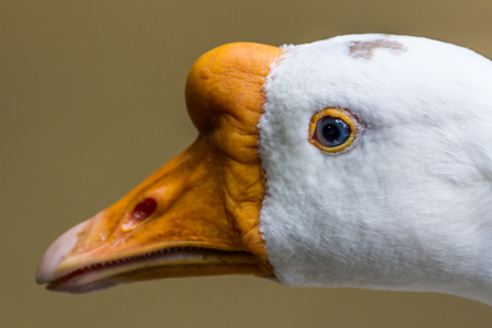 White goose head close up Stock Photo