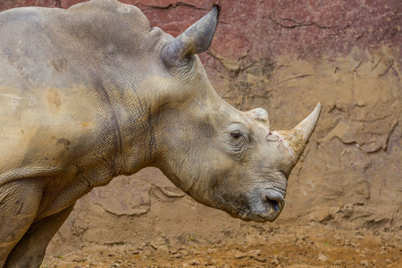 side view of the head of a large white rhino with blood photo