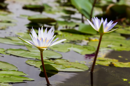 lilia: Beautiful two lotus flower in the pond Stock Photo
