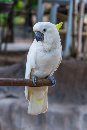 preening: Yellow-crested Cockatoo in the zoo Stock Photo