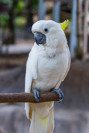maccaw: face of Yellow-crested Cockatoo in the park