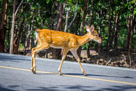鹿が通りを横切って、自然
