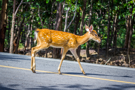 Deer crossing the street, Nature 스톡 콘텐츠