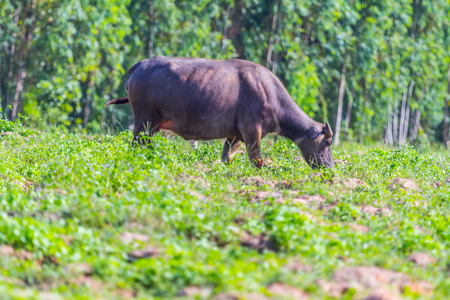 southward: buffalo eating grass, Nature