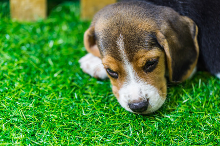 Baby Beagle dog lying on the floor photo