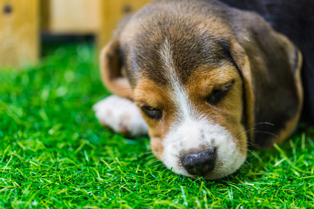 Baby Beagle dog sleeping on the floor photo