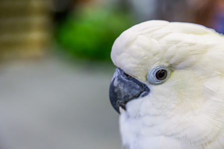 preening: Eye of Yellow-crested Cockatoo (Cacatua sulphurea) ,Nature Stock Photo