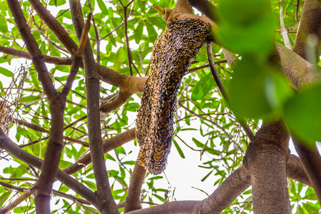 Side view of Big honeycomb on the tree ,insect photo