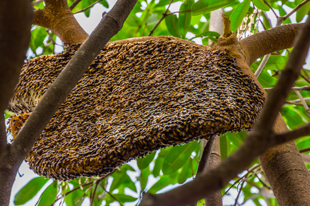Big honeycomb on the tree ,insect photo