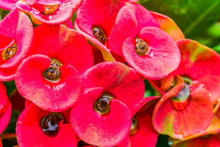 Close up  Pink Crown of thorns flowers with water drop (Euphorbia milli Desmou) photo