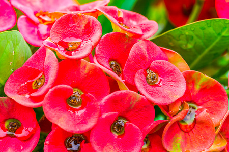 Close up  Crown of thorns flowers with water drop (Euphorbia milli Desmou) photo