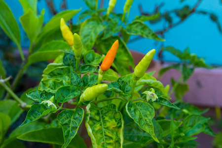 Orange and green hot chili peppers on a tree photo