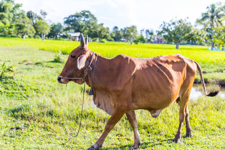 red heifer: Cow in the rice farm, Thailand