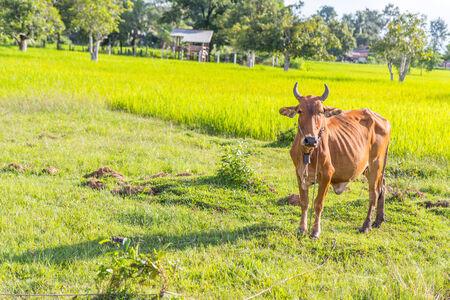 red heifer: Vaca en la granja de arroz, Tailandia