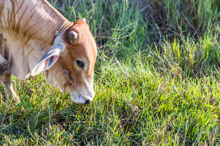 red heifer: Cow in the rice farm eating, Thailand