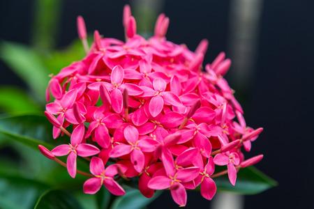 Red ixora coccinea flower มNature photo