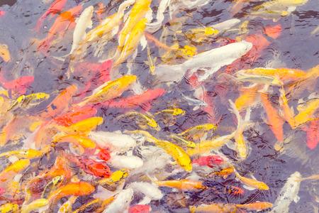 Colorful Koi fish swiming,Nature photo