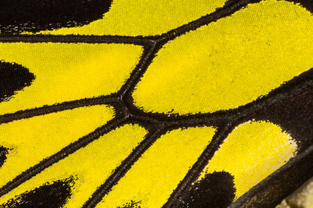Butterfly wing texture, close up of detail of butterfly wing for background photo