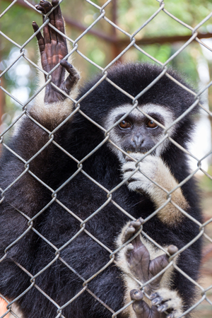 gibbon behind the Cage in the park photo