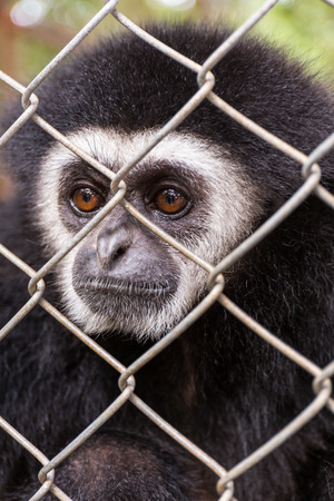 cage gorilla: gibbon behind the Cage in the park Stock Photo