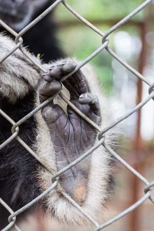 cage gorilla: Hand Sad gibbon behind the Cage in the park Stock Photo
