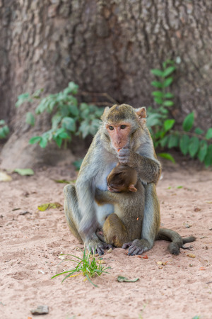 Mother monkey and baby monkey  On the lawn photo