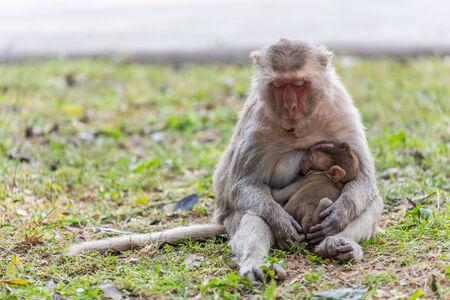 Mother monkey and baby monkey sleeping on the lawn photo