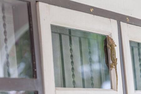 bugaboo: Gecko arrampicata sulle finestre Archivio Fotografico