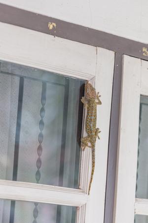 bugaboo: Gecko climbing on the windows