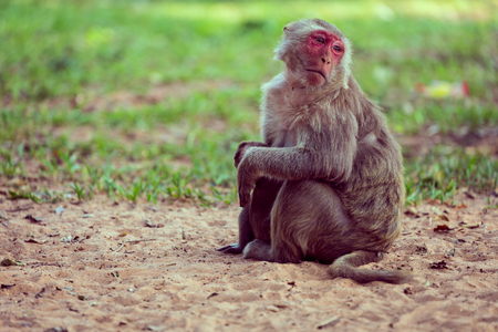 cage gorilla: Lone monkey sitting on the grass and looking for friend Stock Photo