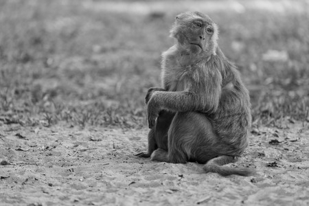 Lone monkey sitting on the grass and looking for friend photo