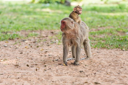 Young ape,monkey on the back of its mother in the monkey park photo
