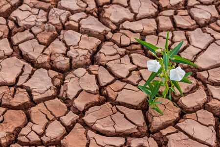 Small white  flower plant growing in dry soil with hand background Stock Photo