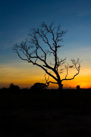 red evening: Big tree silhouette sunset  sky