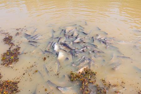 shark catfish: Iridescent shark, Striped catfish, Sutchi catfish Fish are eating crowd hungry