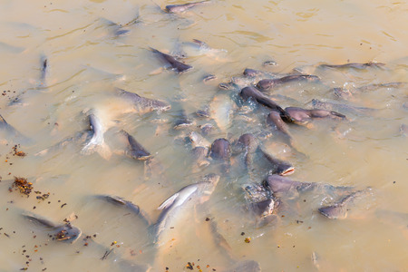 Iridescent shark, Striped catfish, Sutchi catfish Fish are eating crowd hungry photo