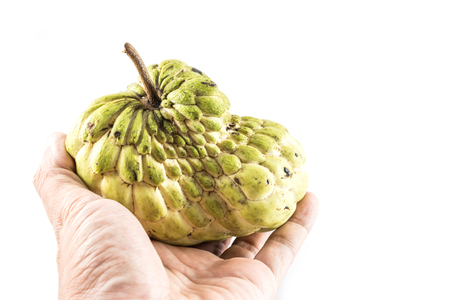 sweetsop: Hand hold Sugar Apple ( custard apple, Annona, sweetsop,Cherimoya fruit )  on white background