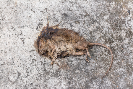 dead rat: Old Dead mouseRat dieDead rat on concrete floor Stock Photo
