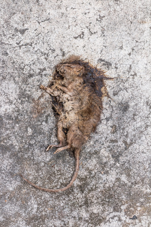 dead rat:  Dead rat on concrete floor