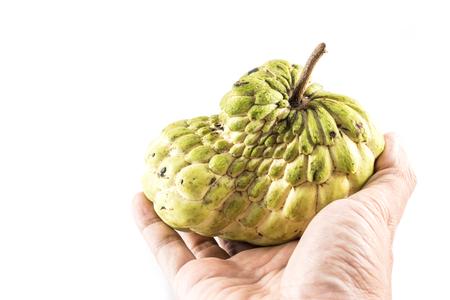 chirimoya: Hand hold Sugar Apple ( custard apple, Annona, sweetsop,Cherimoya fruit )  on white background