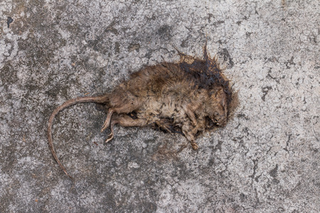 dead rat: Old Dead mouseRat dieDead rat on concrete floor Stock Photo