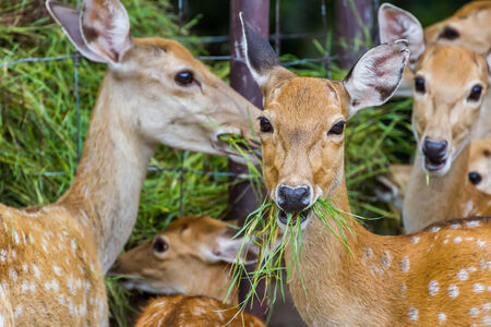 marge: Young Whitetail Deer eating grass in the park Stock Photo