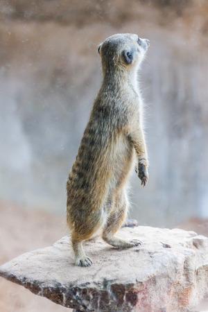 Meerkat (Surikate) Standing in the public park photo