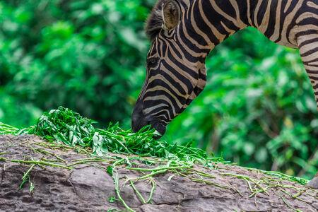 zebra face: Zebra portrait face and head between eating, Nature