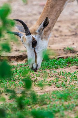 south africa soil: face and horn of Gemsbok antelope (Oryx gazella) deer, South Africa