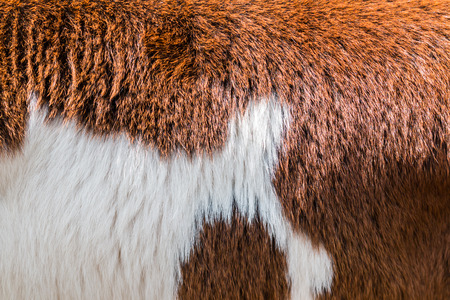 brow: Brow and white Cow fur texture