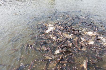 pangasius: Pangasius fish try to eat the food